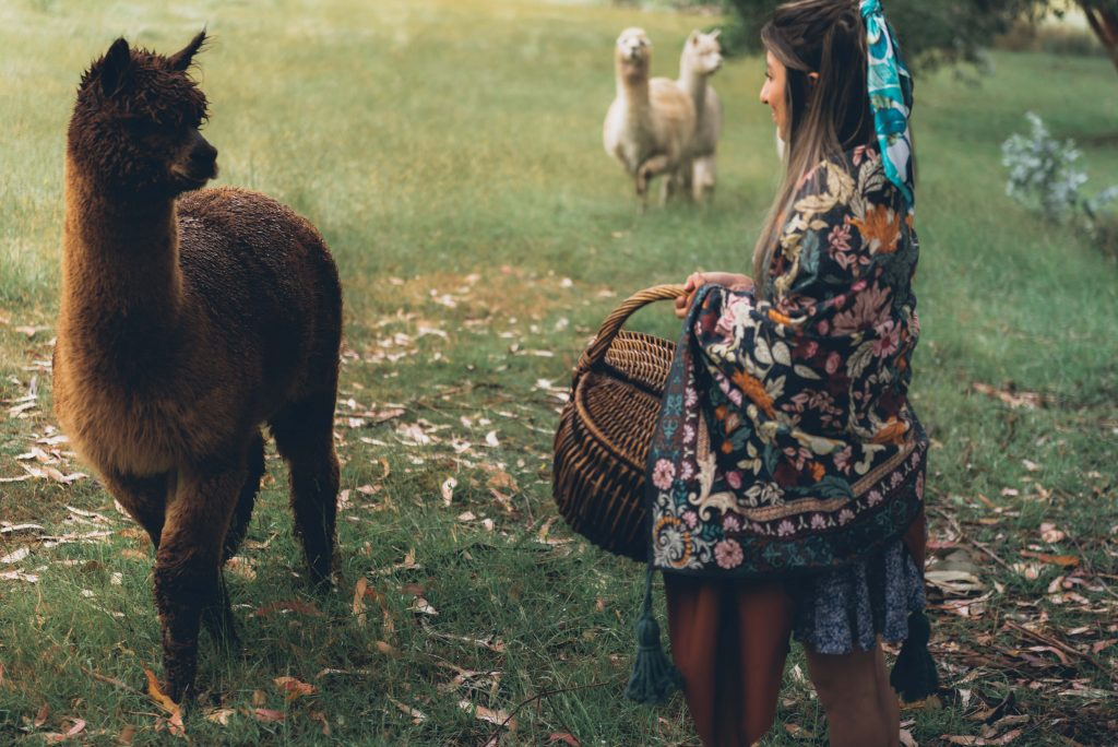 BIrchview-Tasmania-Picnic-with-alpaca-friends-1024x684